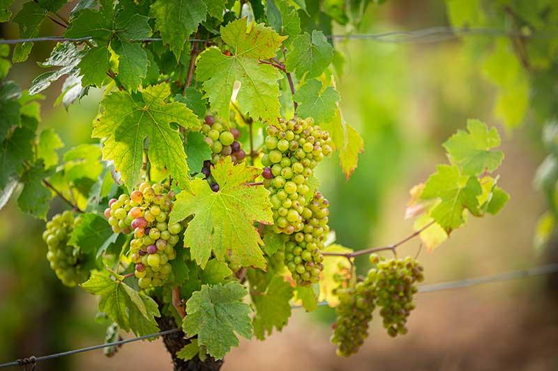 Vignes du Domaine de Bonaguil - Vin IGP Côtes du Lot