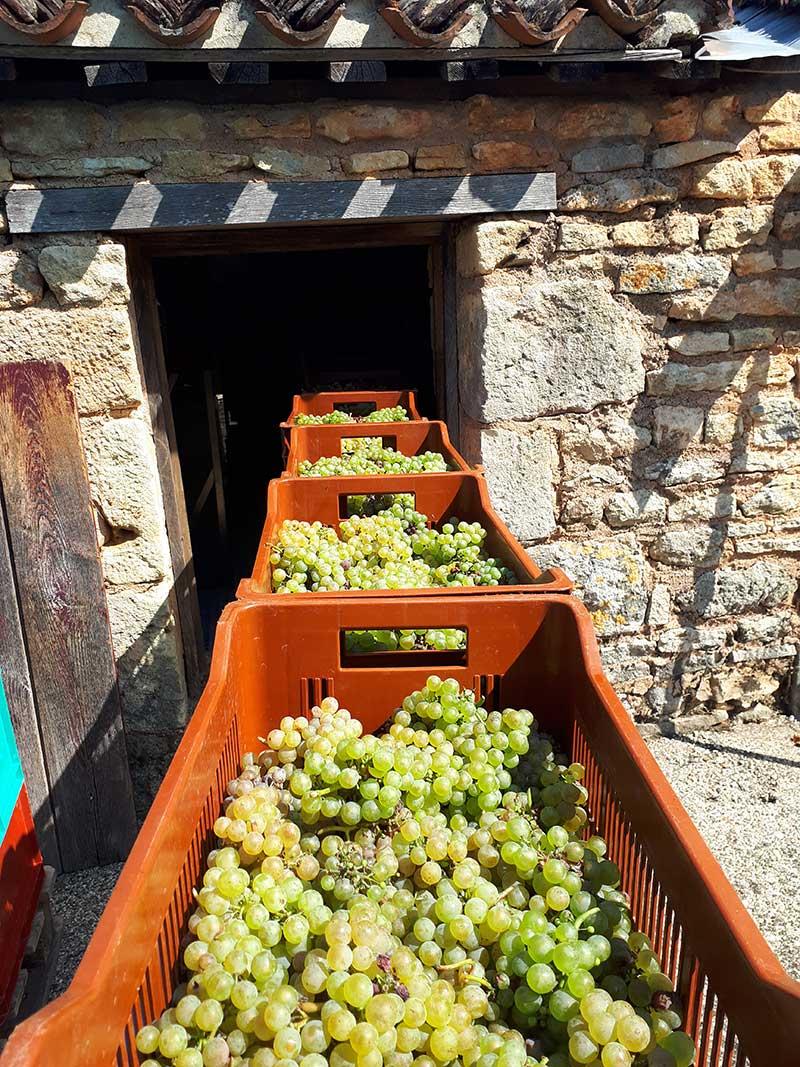 Vendanges au Domaine de Bonaguil - Vin IGP Côtes du Lot